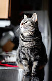 Glance. A silver/gray tabby cat glancing out the window in a kitchen Royalty Free Stock Photography