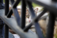 A glance. A cat peeking through an iron fence in Athens, Greece Royalty Free Stock Images