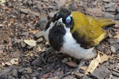 The glance of the Blue-faced honeyeater. A beautiful bird is looking at you Stock Images