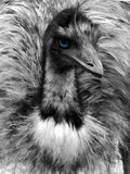 Black and white emu portrait with blue eye. Close up of head with blue eye of emu bird in black and white stock photography