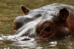Glance of hippopotamus Royalty Free Stock Photos