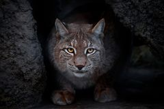 Glance lynx. Lynx is a big cat sitting on the ground and ironically looking straight at you. close-up is a glance of a lynx stock photography