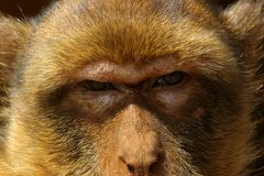 The glance of the monkey Royalty Free Stock Photos