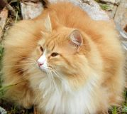 Glancing Orange Cat. Longhaired ginger cat laying in the grass and looking to the side Royalty Free Stock Photos