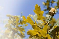 Gland d'automne sur l'arbre Image libre de droits