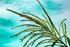 Gland de maïs image libre de droits