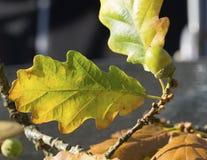 Gland et feuille en Autumn Sun Photos stock