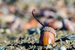Gland mûr, ou écrou de chêne au sol Photo libre de droits