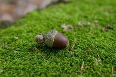 Gland sur la mousse dans la forêt photographie stock libre de droits