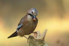 Glandarius del Garrulus dell'uccello Fotografia Stock