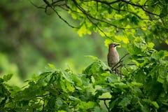 Glandarius del Garrulus La natura selvaggia della repubblica Ceca Natura libera Immagine di un uccello in natura Bella maschera U immagine stock
