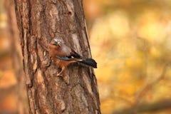 Glandarius del Garrulus Uccello nei colori di autunno Fotografie Stock Libere da Diritti
