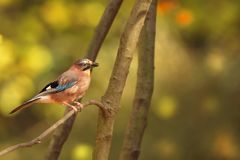 Glandarius del Garrulus Uccello nei colori di autunno Immagine Stock Libera da Diritti