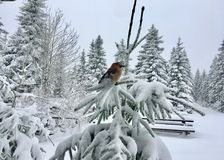Glandarius eurasien de Garrulus de geai sur l'arbre impeccable neigeux photographie stock