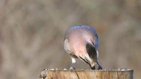 Glandarius euroasiatico del Garrulus di ghiandaia sull'alimentatore dell'uccello di inverno stock footage
