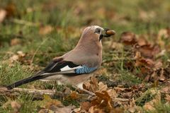 glandarius jay garrulus птица цветастая стоковые фото
