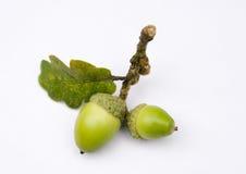 Glands d'un arbre de chêne Photographie stock libre de droits