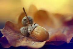Glands de chêne de feuilles d'automne de Brown Images libres de droits