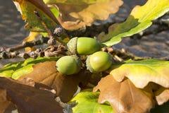 Glands en automne Photos stock