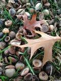 Glands et feuilles d'arbre de Palustres de quercus au sol après coucher du soleil en automne Image stock