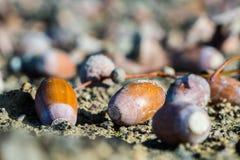 Glands, ou écrous de chêne au sol, plan rapproché Photographie stock
