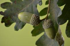 Glands verts sur des branches en gros plan Photo stock