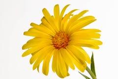 Glandular Cape Marigold Royalty Free Stock Image