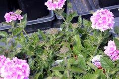 Glandularia peruviana «Balendpibi «, Endurascape Różowy bicolor zdjęcia stock