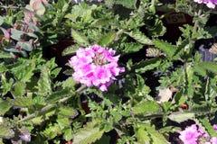 Glandularia peruviana «Balendpibi «, Endurascape Różowy bicolor zdjęcie stock