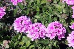 Glandularia peruviana «Balendpibi «, Endurascape Różowy bicolor obraz stock