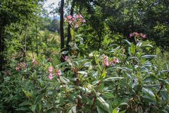 Glandulifera de Impatiens/bálsamo Himalayan en flor en Serbia Kosovo imagen de archivo libre de regalías