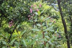 Glandulifera de Impatiens/bálsamo Himalayan en flor en Serbia Kosovo foto de archivo