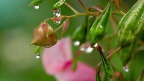 Glandulifera Royle Impatiens с дождевыми каплями сток-видео