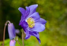 Glandulosa Aquilegia, λουλούδι στην κινηματογράφηση σε πρώτο πλάνο Στοκ Φωτογραφίες