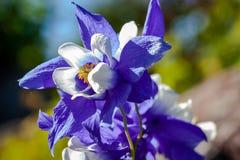 Glandulosa Aquilegia, λουλούδι στην κινηματογράφηση σε πρώτο πλάνο Στοκ φωτογραφία με δικαίωμα ελεύθερης χρήσης