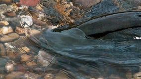 Glanis van een montrous van de welskatvis Silurus in de mooie schone rivier in Albi in het Zuiden van Frankrijk royalty-vrije stock afbeelding