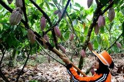 Glanmore cacao plantation Indonesia Stock Photos