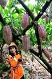 Glanmore cacao plantation Indonesia Royalty Free Stock Photography