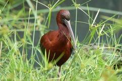 glans ibis Royaltyfri Foto