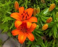 Glansen av den vibrerande orange Lillyen royaltyfria bilder
