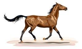 Glansig brun häst i trav Arkivfoto