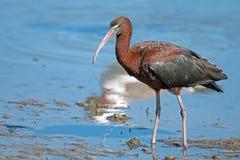 Glansig ibis Fotografering för Bildbyråer