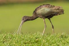 Glansig ibis Arkivbild