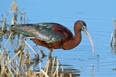 Glansig ibis Royaltyfria Bilder