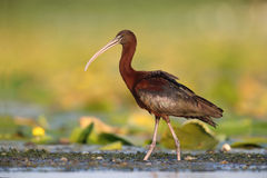 Glansig ibis (den Plegadis falcinellusen) i naturlig livsmiljö arkivbild