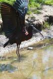 Glansig ibis- eller Plegadis falcinellus Arkivbild