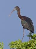 Glansig ibis i träd Arkivbilder
