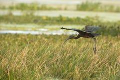 Glansig ibis med regnbågsskimrande vingar som landar på Orlando Wetlands Pa Arkivfoto