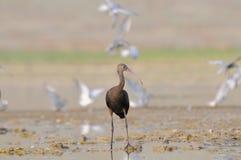 Glansig ibis på grunt vatten med fiskmåsar på bakgrund Royaltyfria Bilder