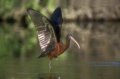 Glansig ibis, Plegadis falcinellus Arkivbild